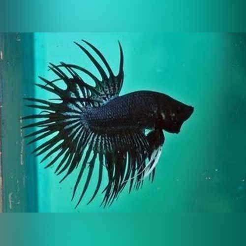 Black Orchid Crowntail Betta