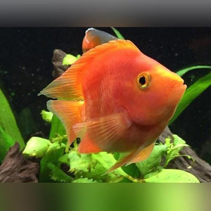 Parrot Cichlid - Blood Red 3""
