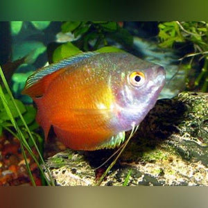 Red Flame  Dwarf Gourami (Male)
