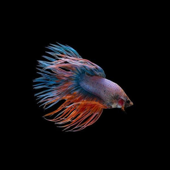 Crowntail Male Betta (L)