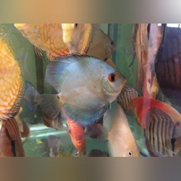 Blue Diamond Discus (2