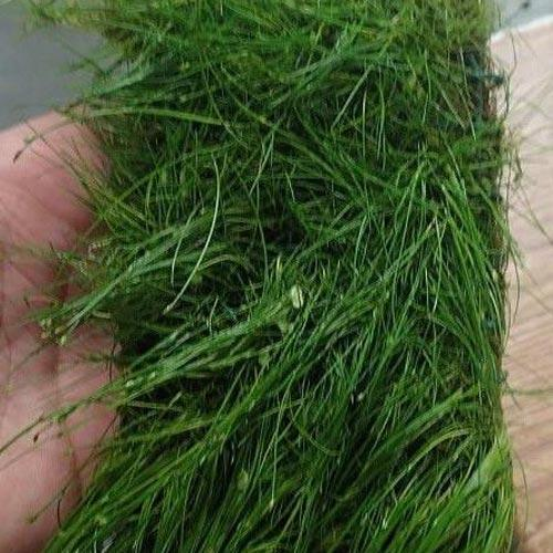 Potted Dwarf Hairgrass