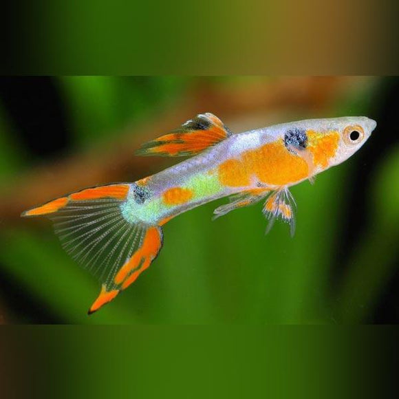 Endler - Fire Red Male