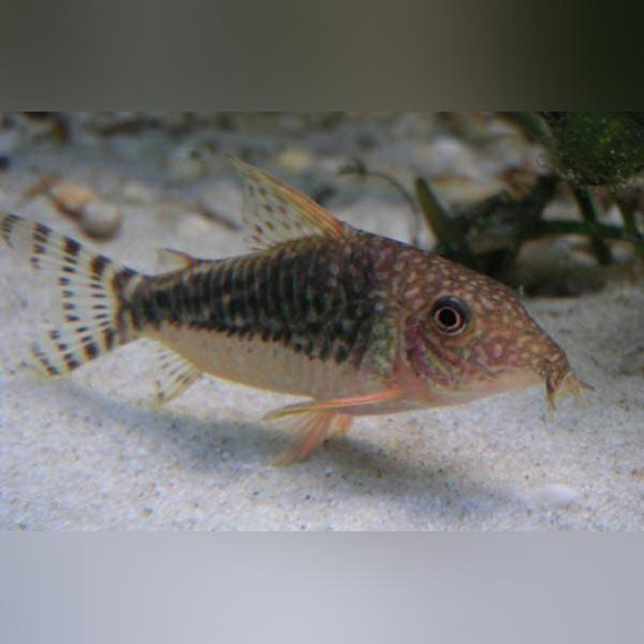 Cory - Flagtail