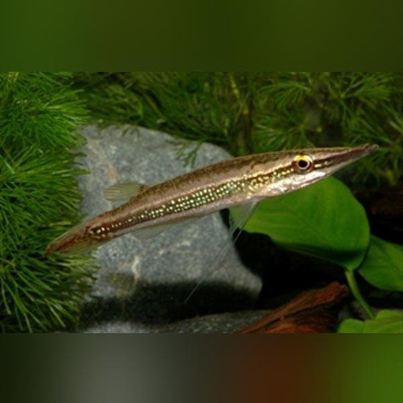 Green Marble Crocodile Pike