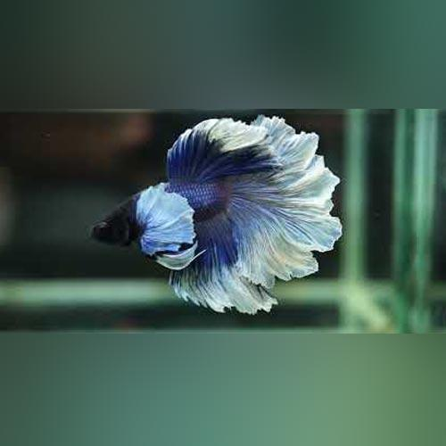 Half Moon Rose Petal Male (L)