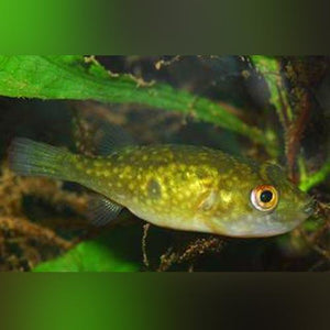 Puffer - Ocellated