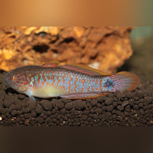 Goby - Peacock Gudgeon