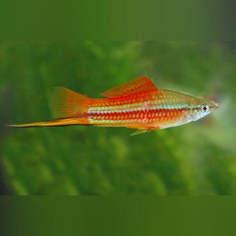 Pineapple Swordtail (L)