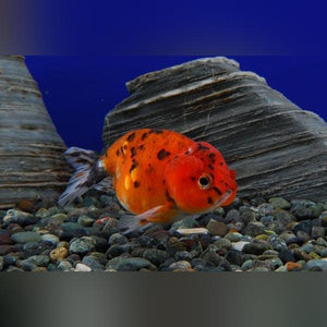 Ranchu Calico 2""