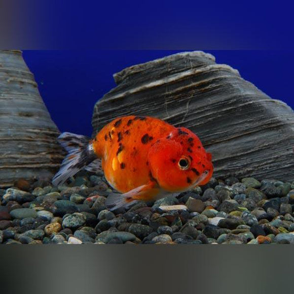 Ranchu Calico 2