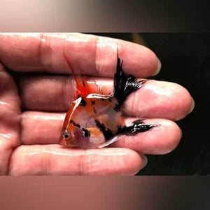 Red Devil Angelfish