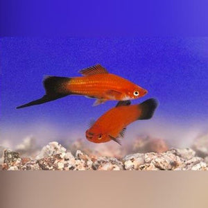 Blood Red Wag Swordtail (L)