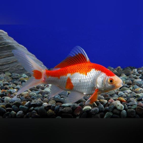 Sarassa Comet Goldfish -  Red And White