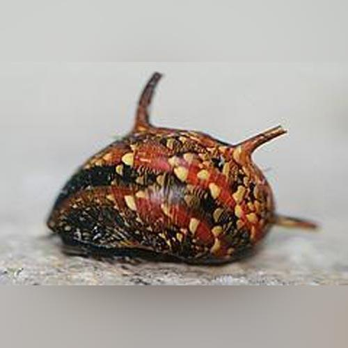 Snail - Tri-Color Thorny Snail