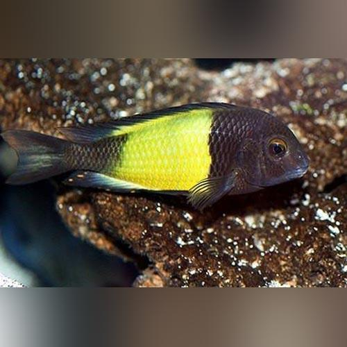 Tropheus Moorii - (Kaiser - Yellow Band)