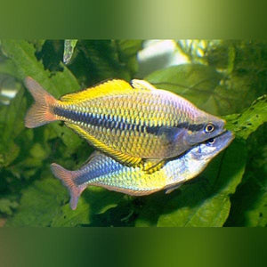 Yellow Axelrodi Rainbow (L)