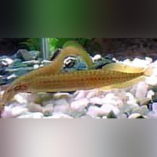 Eel - Yellow Tail Spiny