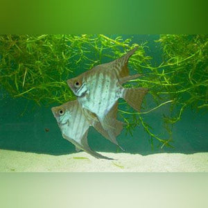 Zebra Lace Angelfish (L)