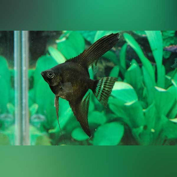Full Black Angelfish