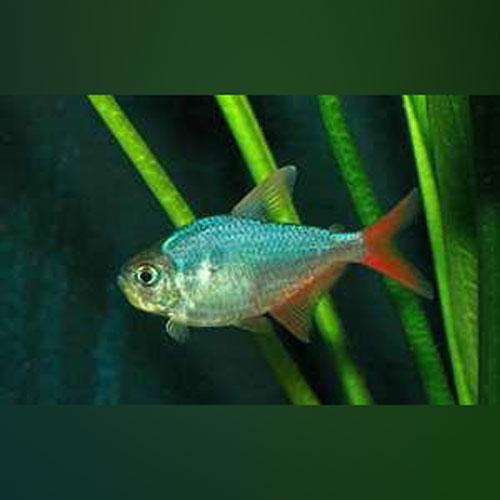 Tetra - Columbian (Red and Blue)