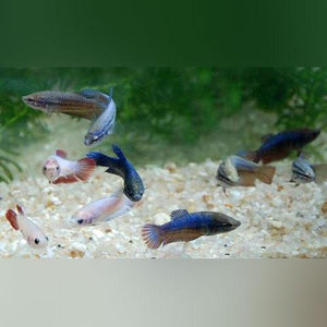 Show Betta Female (L)