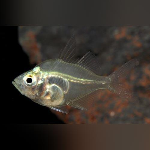 Glass Fish - Dwarf