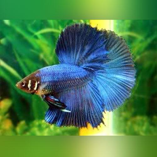Half Moon Betta Male (L)