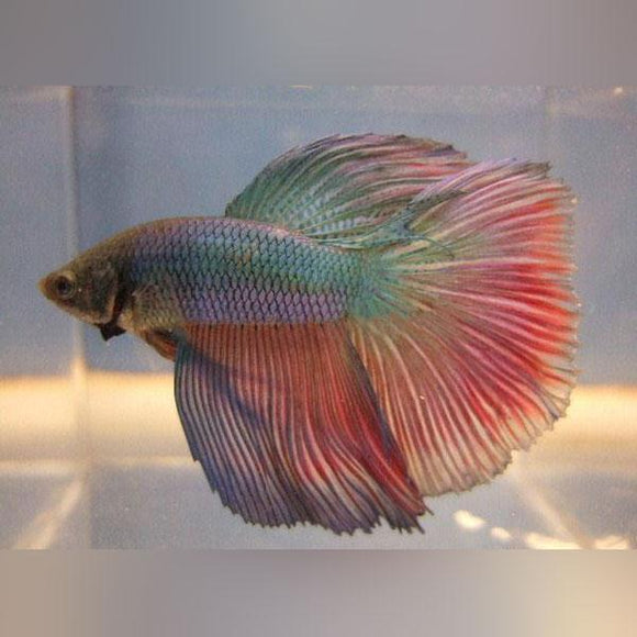 Super Delta Tail Male Betta (L)