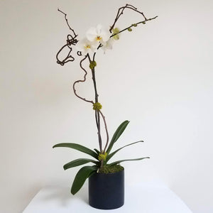 Single Stem Orchid Plant