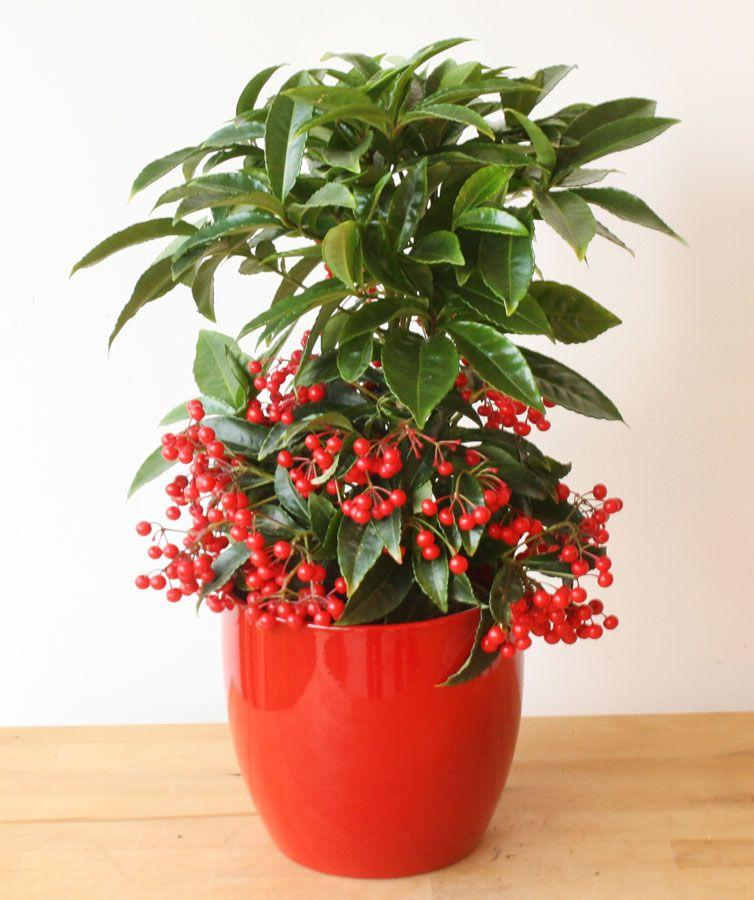 Coral Berry Plant