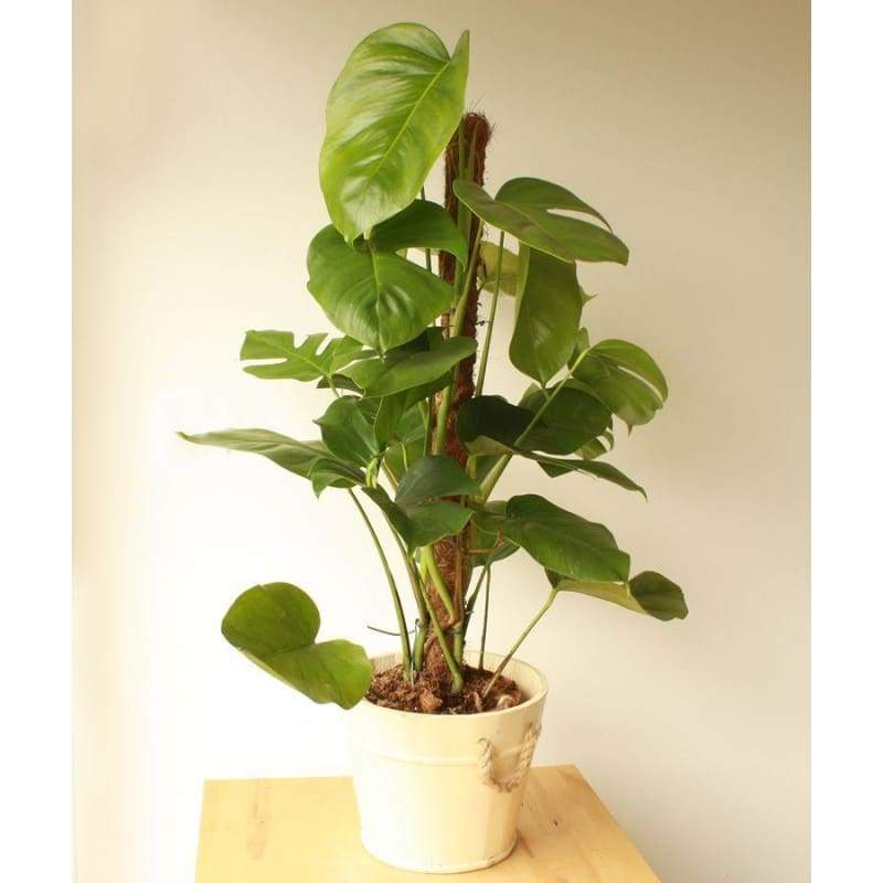 Large Cheese Plant - Indoor Plants