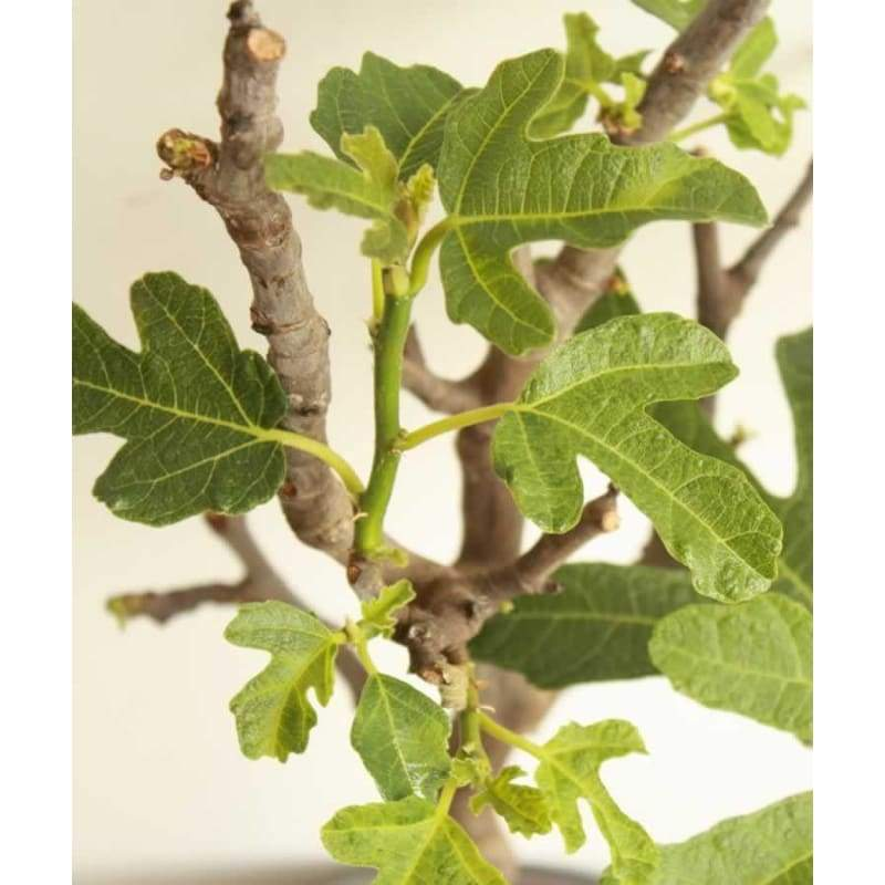 Large Fig Tree - Garden Plants