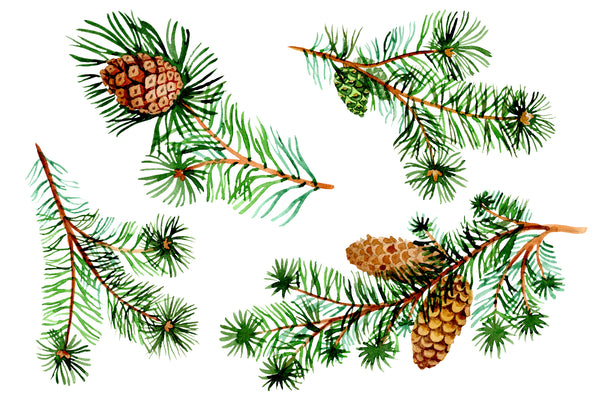 Evergreen with buds watercolor PNG