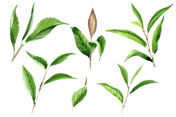 Green Tea Leaves Watercolor png