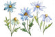 Blue daisy PNG watercolor flower set