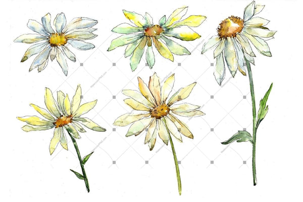 Fine Wildflower Daisy Png Watercolor Set Flower