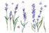 Sweet Purple Lavanda Flower Png Set de flori de acuarelă