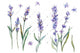 Sweet purple lavender flower PNG watercolor set
