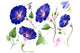 Wildflower ipomoea dark blue PNG watercolor set