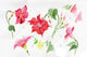 Wildflower red dipladies PNG watercolor set
