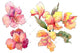 Alstroemeria pink flower PNG watercolor set