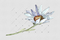Fine White Daisy Png Watercolor Flower Սահմանել ծաղիկ