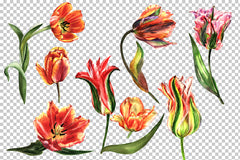 Tulip red PNG watercolor flower set