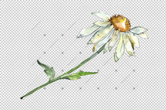 Fine Wildflower Daisy Png Watercolor Set ծաղիկ