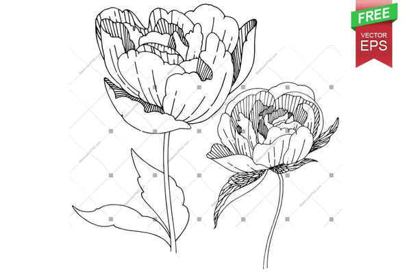 Ink Vector Peony Free Download Floral Botanical Flower. Wild Spring Leaf Wildflower Isolated. Flower