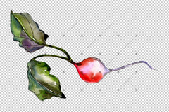 Radish Radish Vegetables Png Watercolor Set Digital