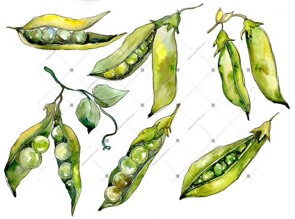 Pea Seed Vegetables Png Watercolor Set Digital
