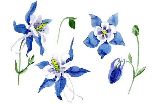 Aquilegia Colombian watercolor png Flower