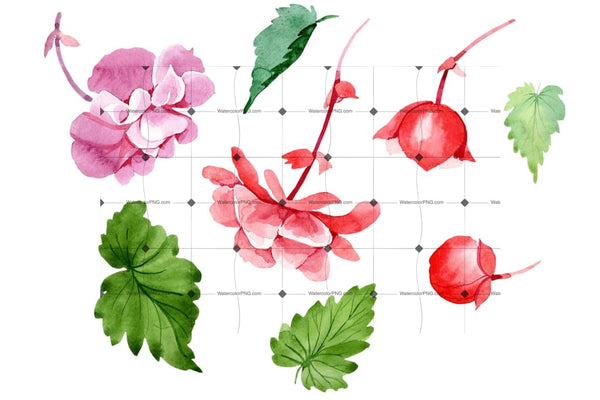 Begonia Flower Plant Png Watercolor Set Flower
